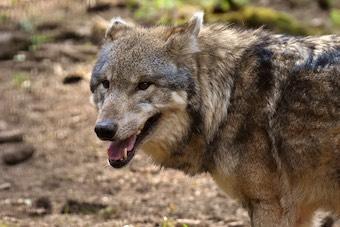 Absichtliches Aussetzen von Wölfen vermutet